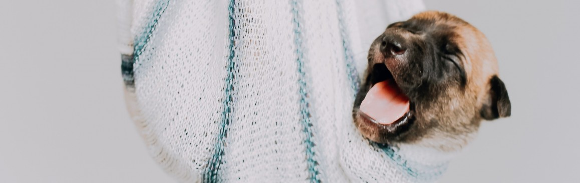 Brown And Black Puppy In Hammock Blanket